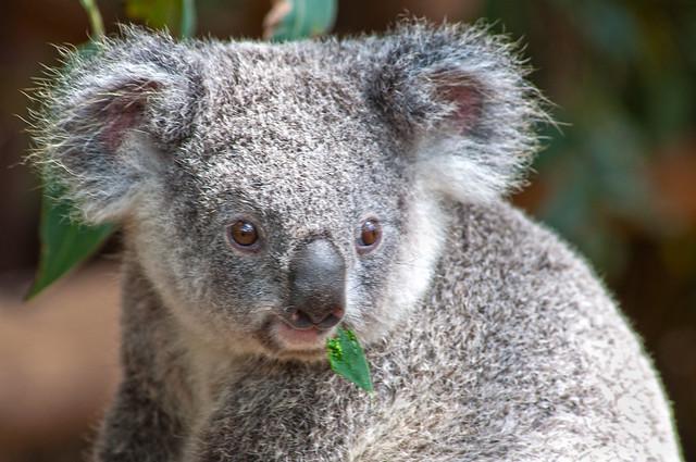 cute baby koala | Flickr - Photo Sharing!