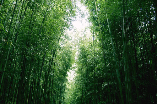 bamboo forest | by VeritasNova