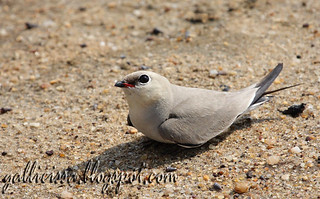 Small Pratincole | by Gallicissa