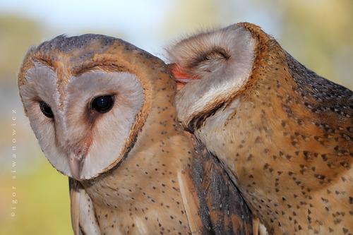 Barn Owl Love | blepharopsis.deviantart.com/art/you-hooted ...