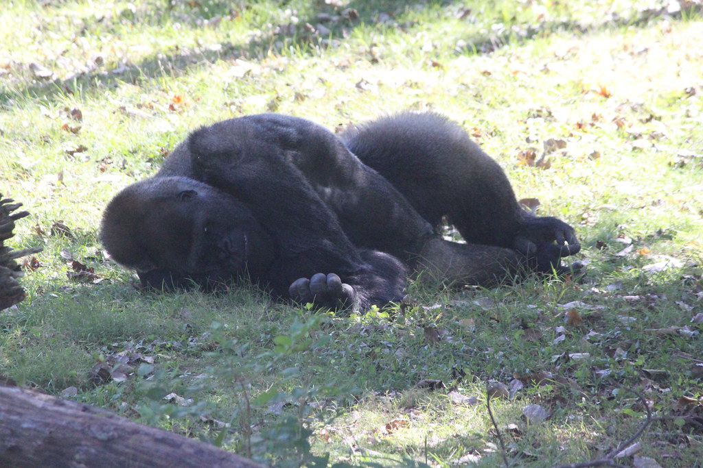 a dead gorilla at the kansas city zoo he was either