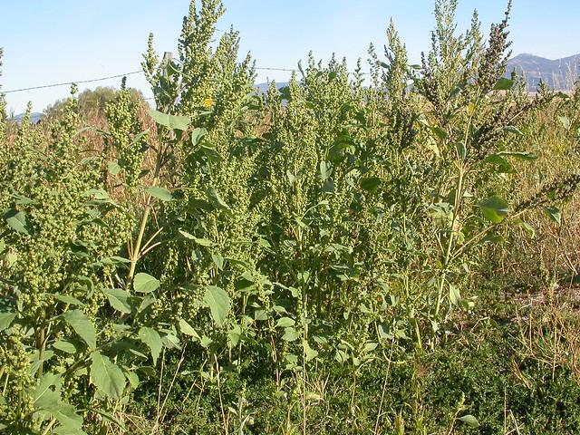 Iva xanthifolia