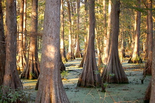 Cypress Trees | by jc.winkler
