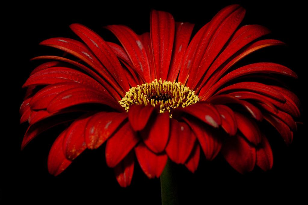 Red Gerbera Daisy  Dgies Flickr