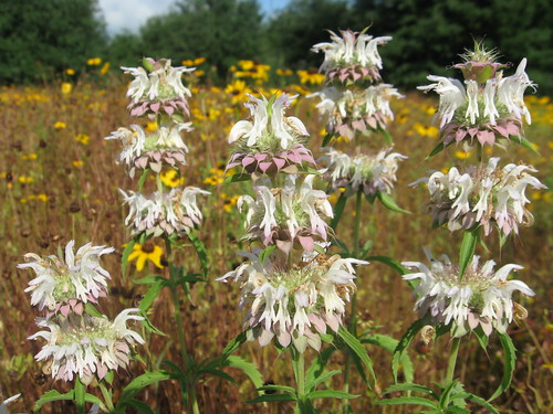 Florida's Turnpike Beebalm | by flawildflowers