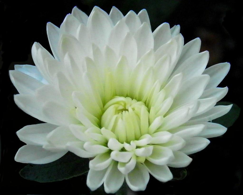 White Mum White Chrysanthemum Family Asteraceae Wellsvill Flickr
