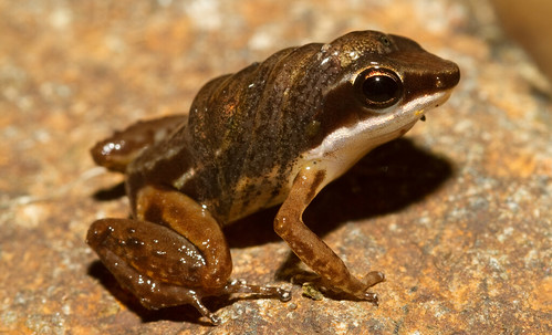 Rainforest rocketfrog (Silverstoneia flotator) male with tadpoles | by brian.gratwicke