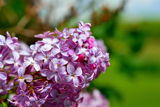 Lilac | by E_Bass