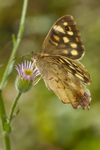 Speckled Wood butterfly (Pararge aegeria) | by Roland Bogush