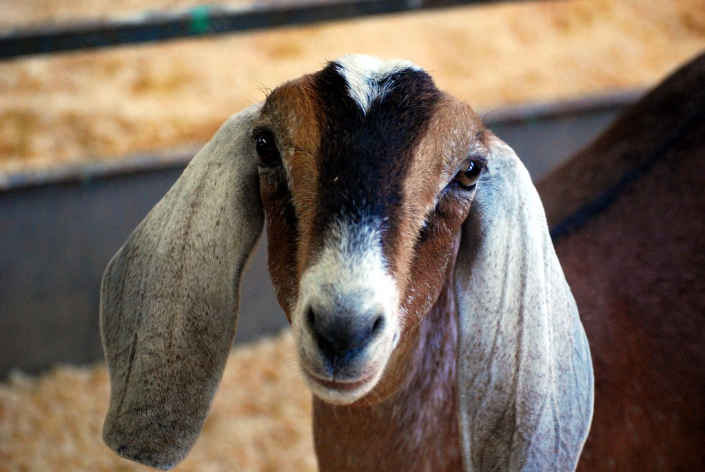 Goat Face | This goat was unusually coöperative as a ph ...
