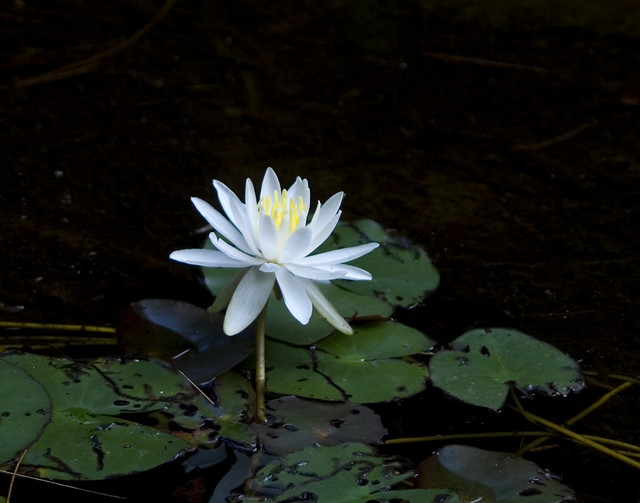 Black Water White Lily Flickr Photo Sharing
