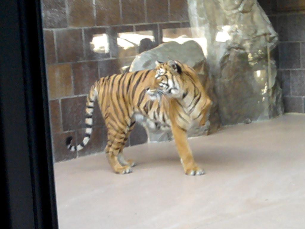 Three-legged Tiger | doryfour | Flickr