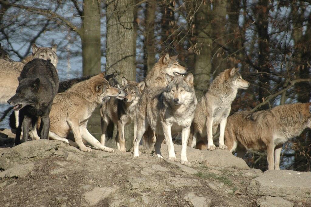 Das Wolfsrudel