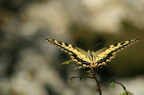 Mariposa - Papilio machaon | by rio en medio - Jose On/Off