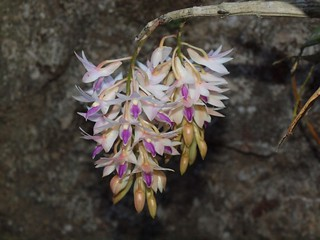 Dendrobium orchid, Banaue | by Nindy2008