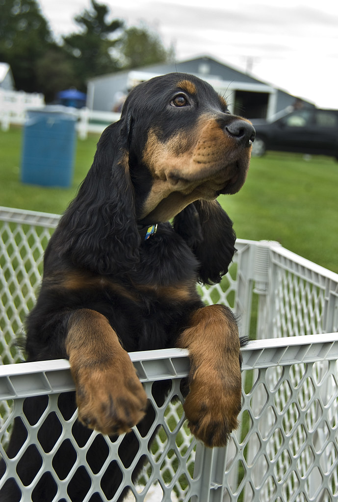 gordon setter puppy sure i 39 m biased but there is. Black Bedroom Furniture Sets. Home Design Ideas