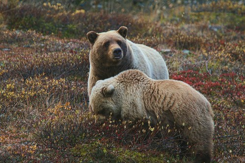 Grizzly cub and sow eating berries | by Rebecca Tifft