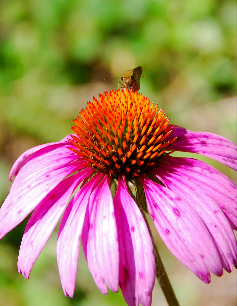 insects and echinacea in the garden center at the crescent