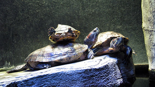 Turtles | by Nikki-ann
