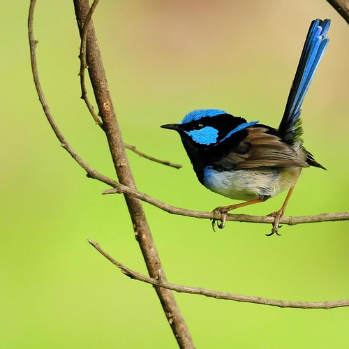 Dream a fairy wren | by Mirror_Lake
