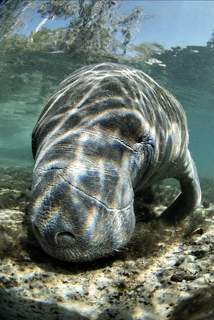 Crystal River Manatee Tour Coupon