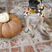 pug on thanksgiving