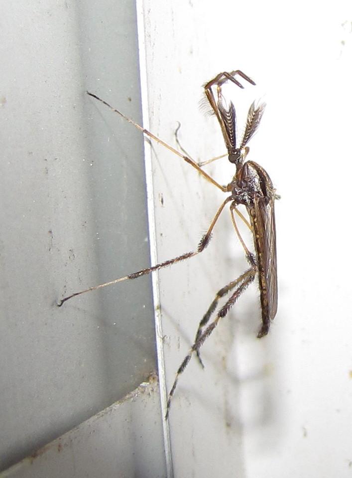 Gallinipper Mosquito Bite Gallinipper Mosquito Male