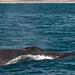 Shown here is a Humpback Whale (Megaptera novaeangliae)