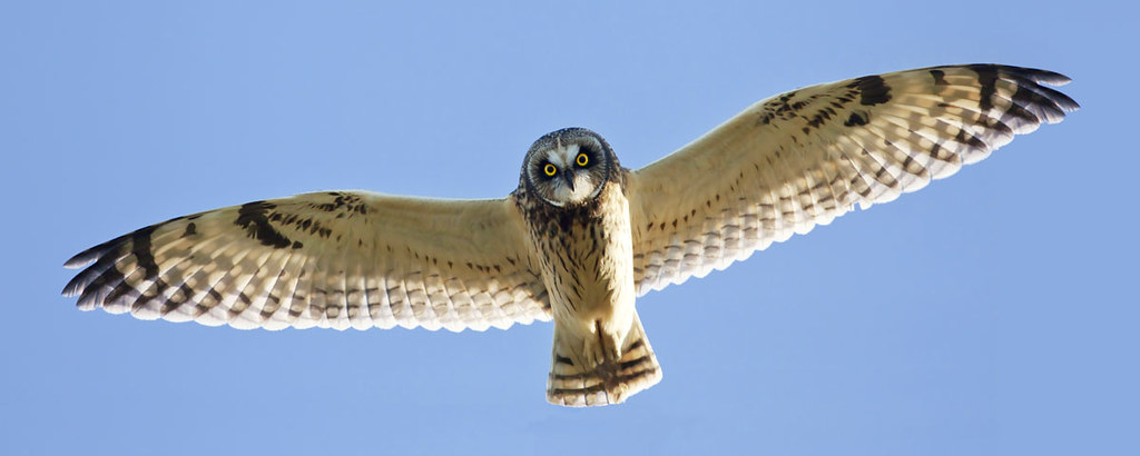 Short-eared Owl - Wingspan | T...