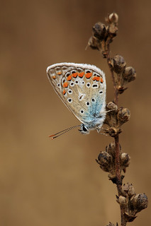 Aricia Agestis #4 | by maxjok