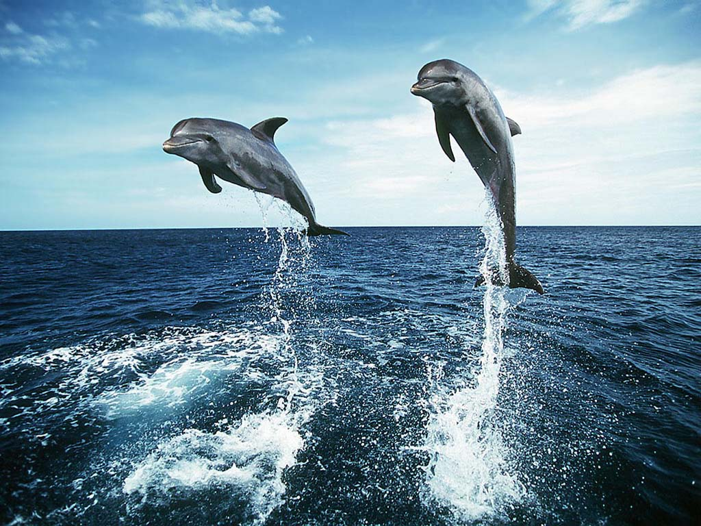 Dancing Dolphins Wallpaper 25 09 2010d