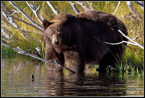 Cinnamon Bear in Water-4566-W | by RobsWildlife.com © TheVestGuy.com