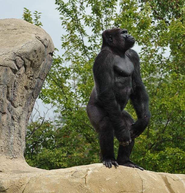 Silverback mountain gorilla standing