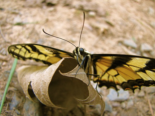 Eastern Tiger Swallowtail | by Mary Sonis