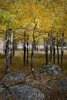 Rocks and Aspen | by Julie Rideout