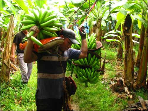 harvesting banana Banana plants growing in acid sandy soils may be fertilized with 05 to 10 lb dry iron sulfate 1 to 2 times during the warmer part of the year banana plants growing in high ph, calcareous soils may be fertilized with 1 to 2 oz of chelated iron material (eddha) during the warmer part of the year.
