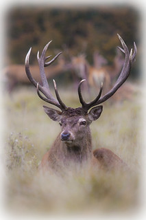 Red-Deer-Stag---Watching-The-Day-Go-By | by CelticOrigins Photography