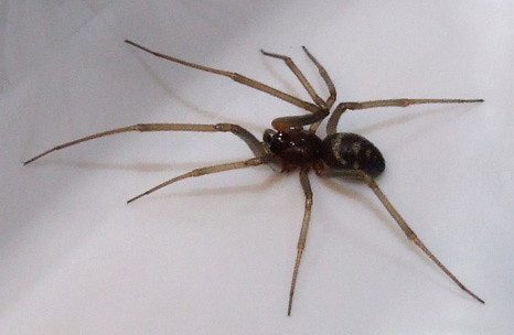 false widow spider how to get rid