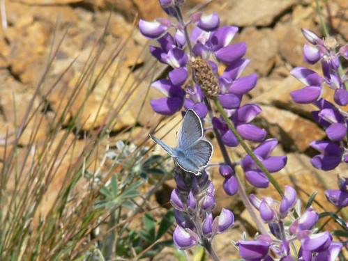 Mission Blue Butterfly (endangered) | by USFWS Headquarters