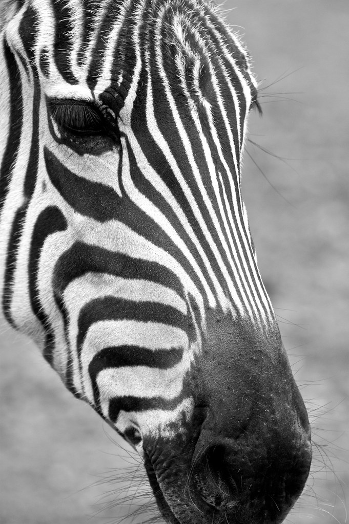 Zebra Face | Another close-up of a zebra at the Como Zoo ...