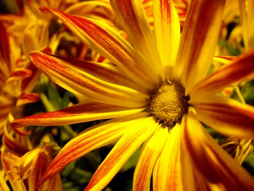 Chrysanthemum | by Peachhead (4,000,000 views!)