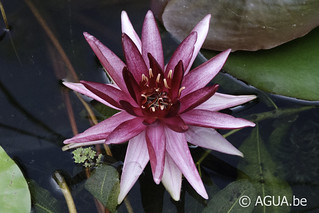 Waterlelie Perry's Red Star / Nymphaea Perry's Red Star
