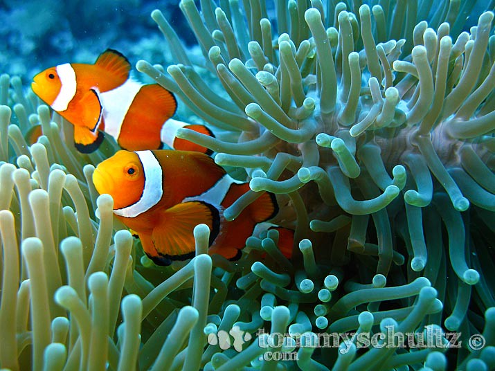 Clown fish family underwater photography at apo island for Clown fish for sale