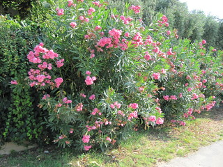 Nerium oleander from wikipedia nerium oleander is an - Haie de laurier rose ...