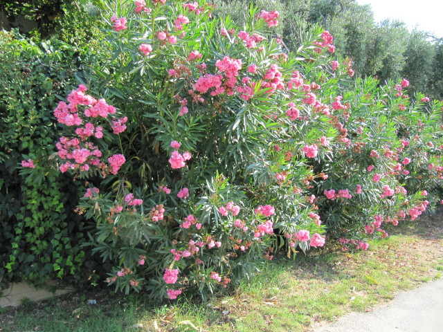 nerium oleander from wikipedia nerium oleander is an eve flickr. Black Bedroom Furniture Sets. Home Design Ideas