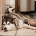 Filhotes de Husky Siberiano - Siberian Husky puppies 9