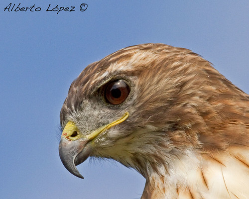 Red-tailed Hawk (Buteo jamaicensis) | by Alberto López