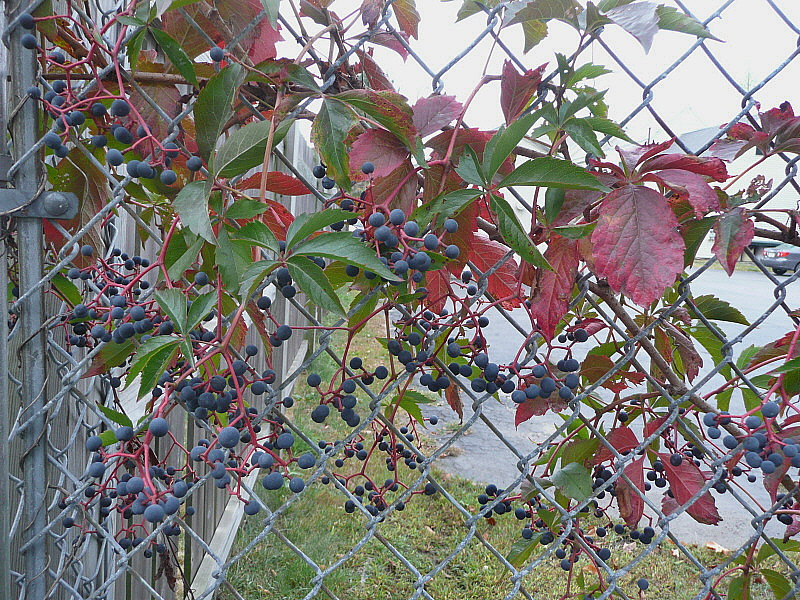 Virginia Creeper On Chainlink Fence