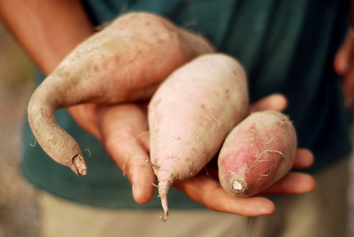 Sweet potatoes come in all shapes and sizes! | by Frog Bottom Farm