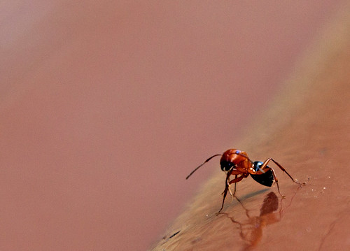 Fire Ant | by Sean R. Taylor
